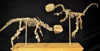 Two Magnificent Psittacosaurus Dinosaur Fossils