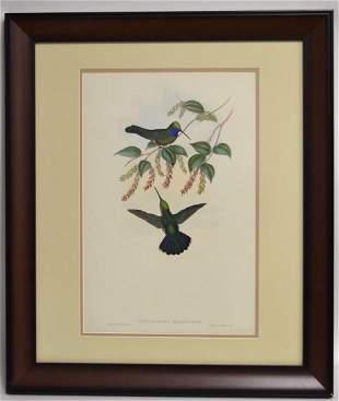 John Gould Hand Coloured Lithograph