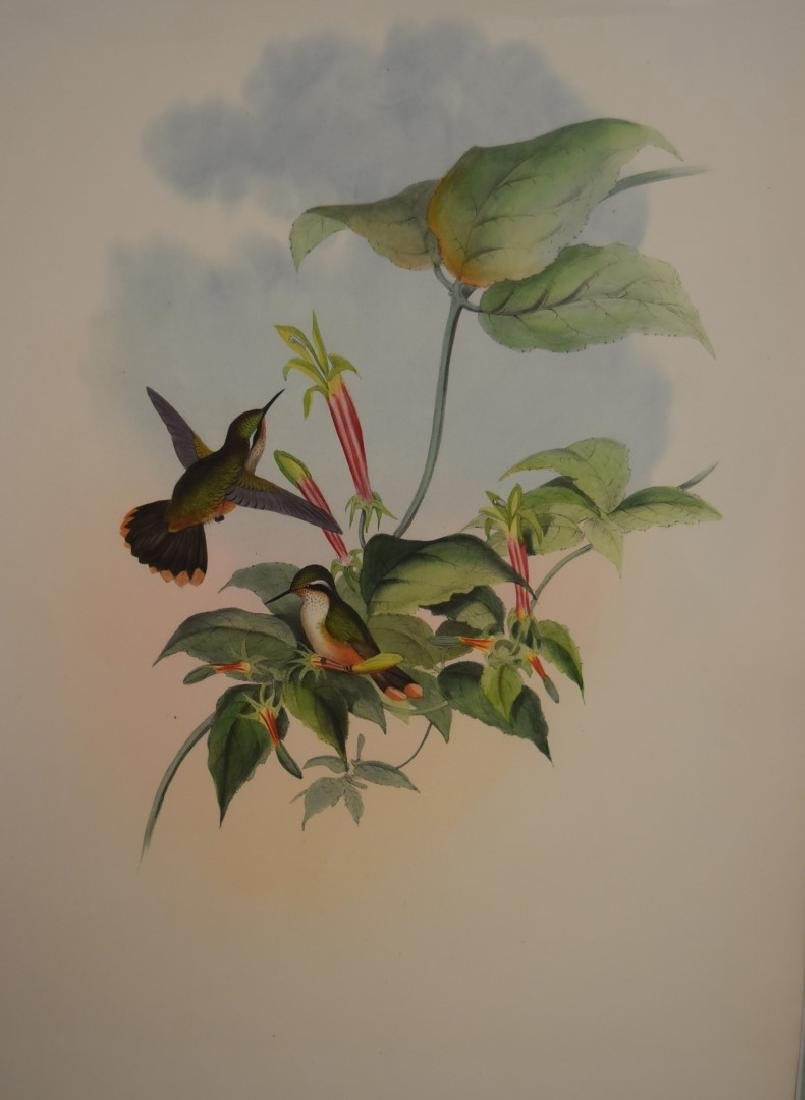 John Gould; Hand Colored Lithograph - 3
