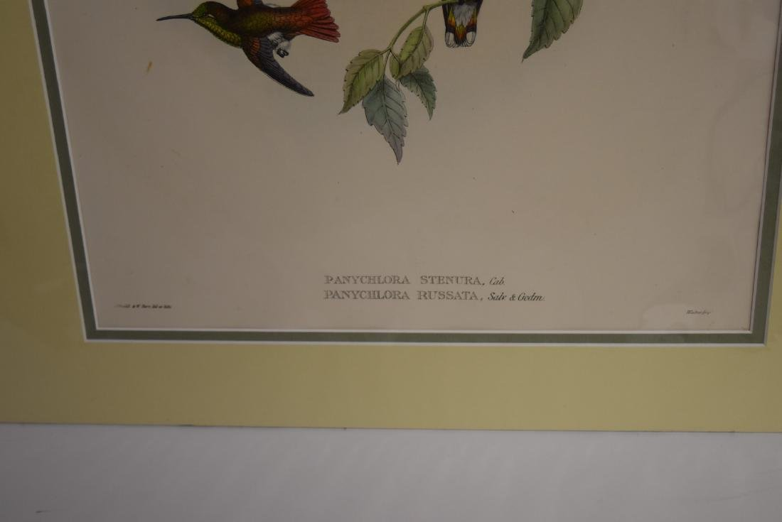 John Gould; Hand Colored Lithograph - 4