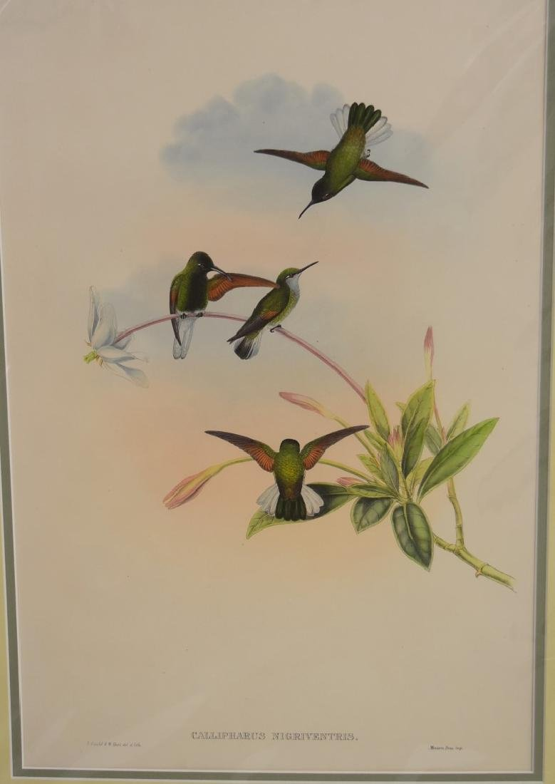 John Gould; Hand Colored Lithograph