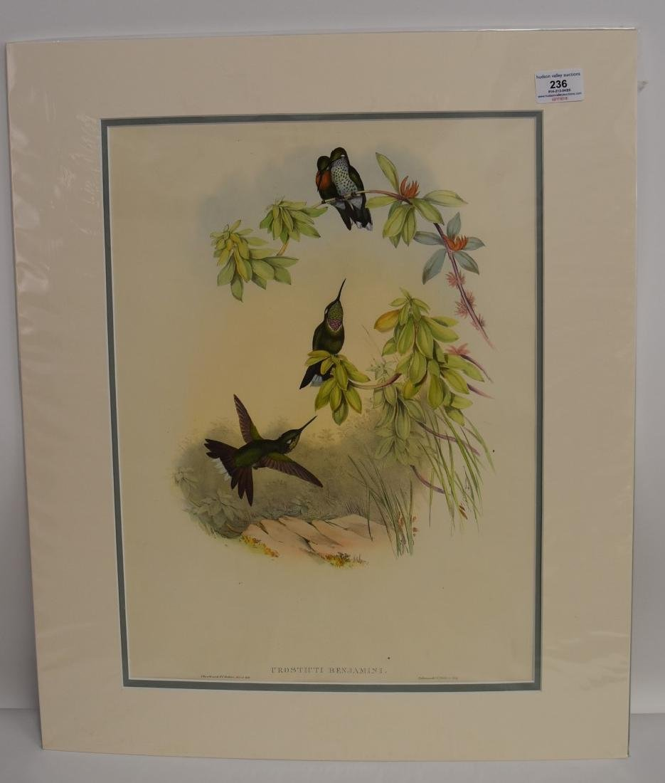 John Gould; Hand Colored Lithograph - 2