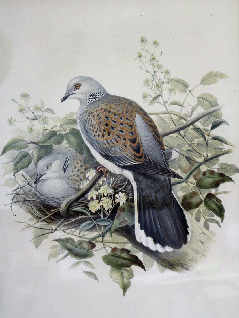 John Gould; Framed Lithograph - Turtle Dove
