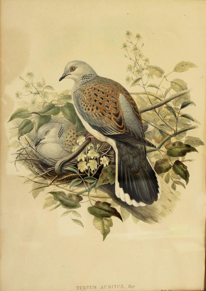 John Gould; Framed Lithograph - Turtle Dove - 2