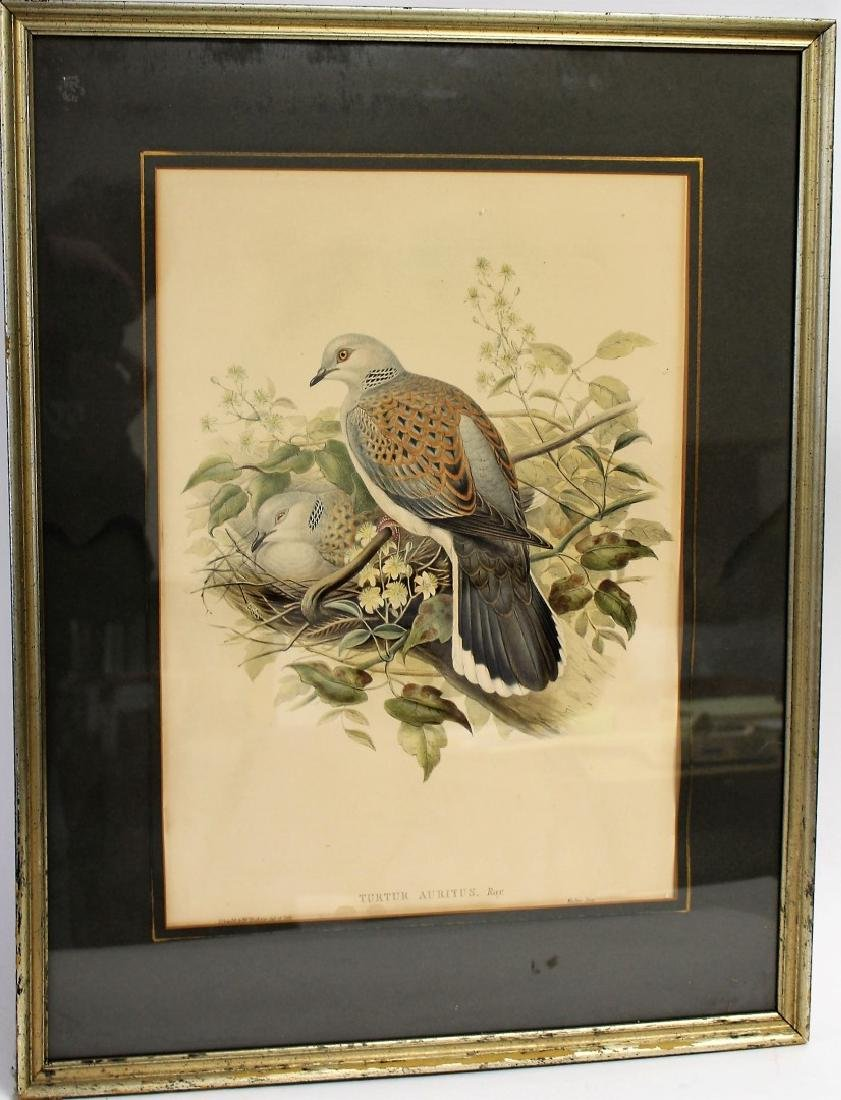 John Gould; Framed Lithograph - Turtle Dove - 3