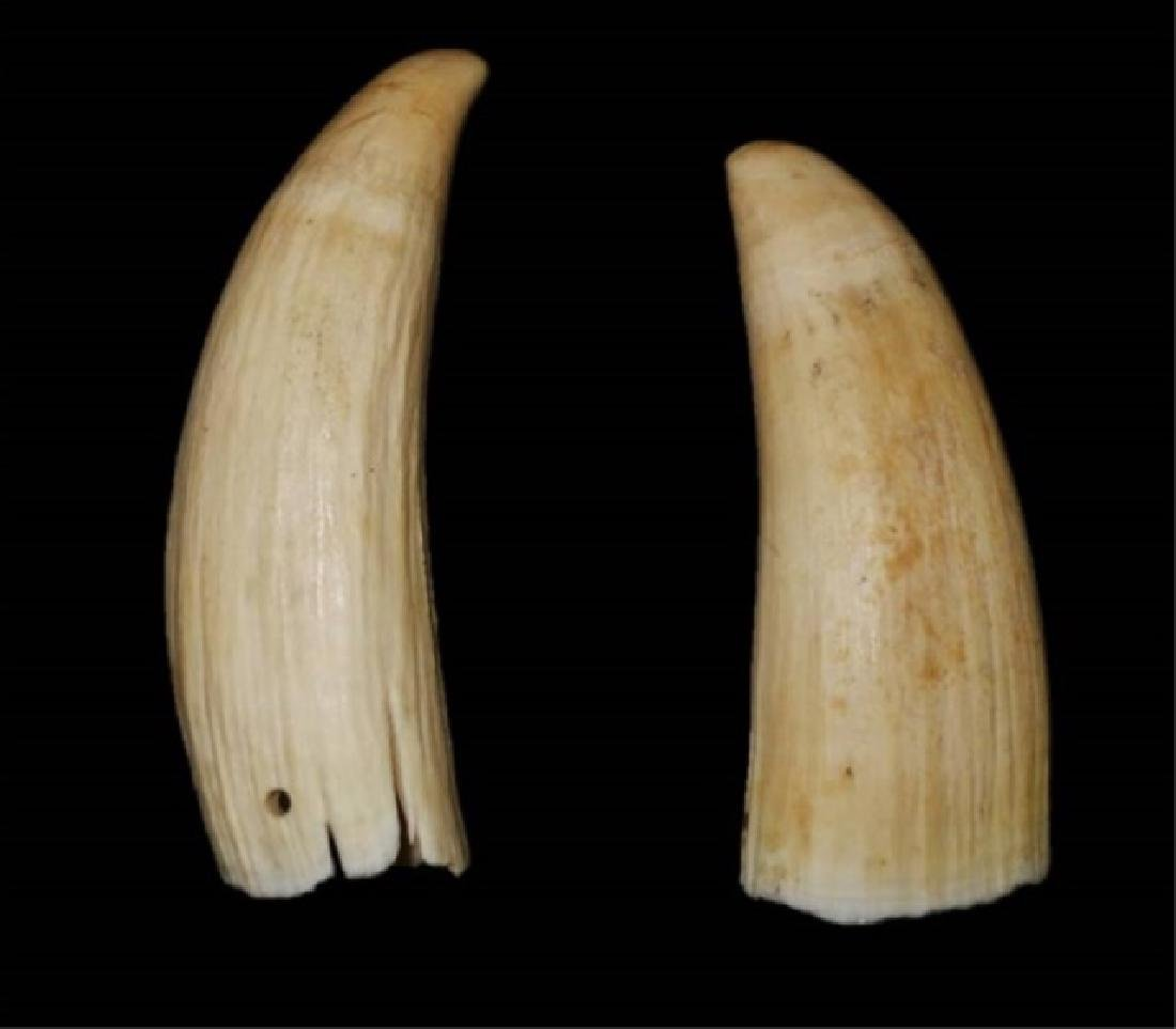 Two Antique Sperm Whale Teeth, (2pc)