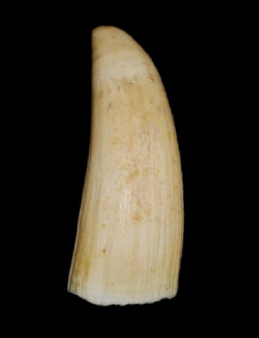 Two Antique Sperm Whale Teeth, (2pc) - 2