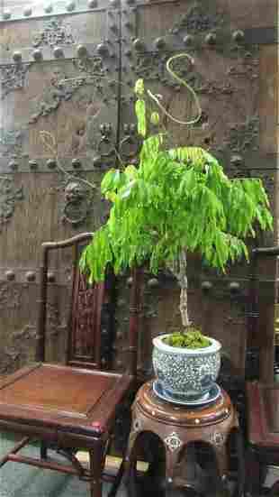 Bonsai Unique Tree