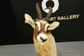 "Mounted head of a Sable Antelope, signed ""D. Griffith"""