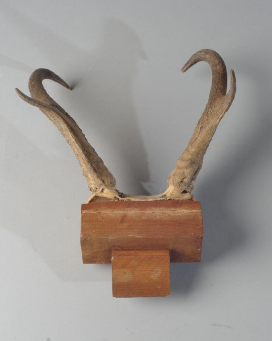 Pronghorn Antelope Horn / Antler Mount