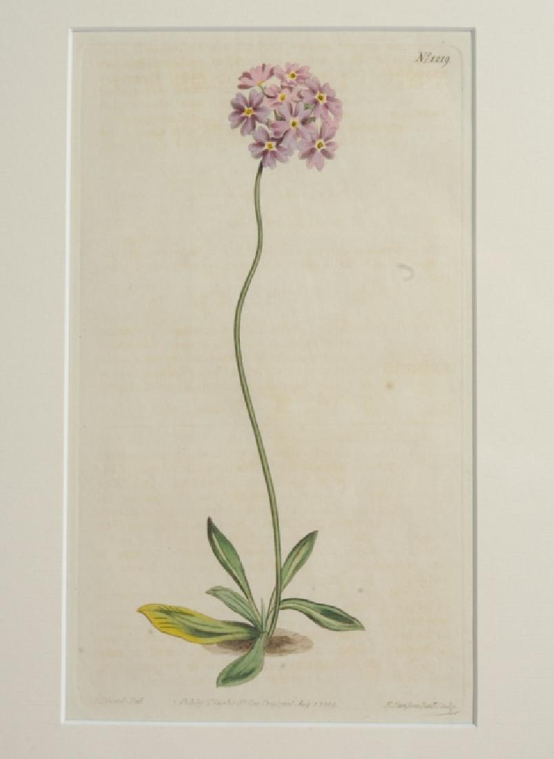 Three Sydenham Edwards (1768-1819) Botanical Engravings