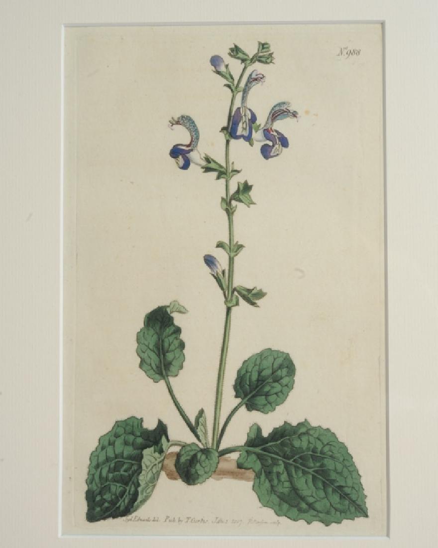 Three Sydenham Edwards (1768-1819) Botanical Engravings - 2