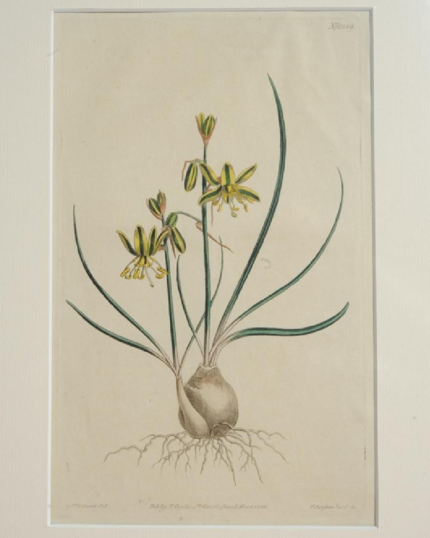 Three Sydenham Edwards (1768-1819) Botanical Engravings - 3