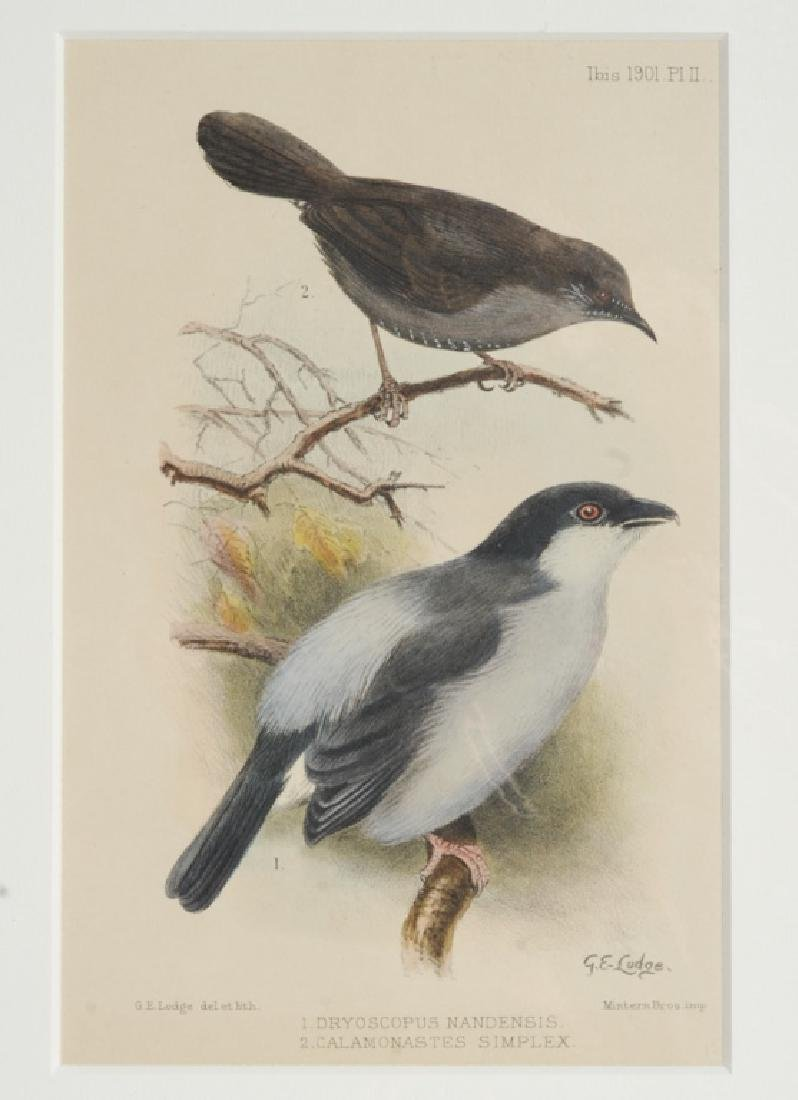 4 Antique Ornithological Hand Colored Lithographs - 2
