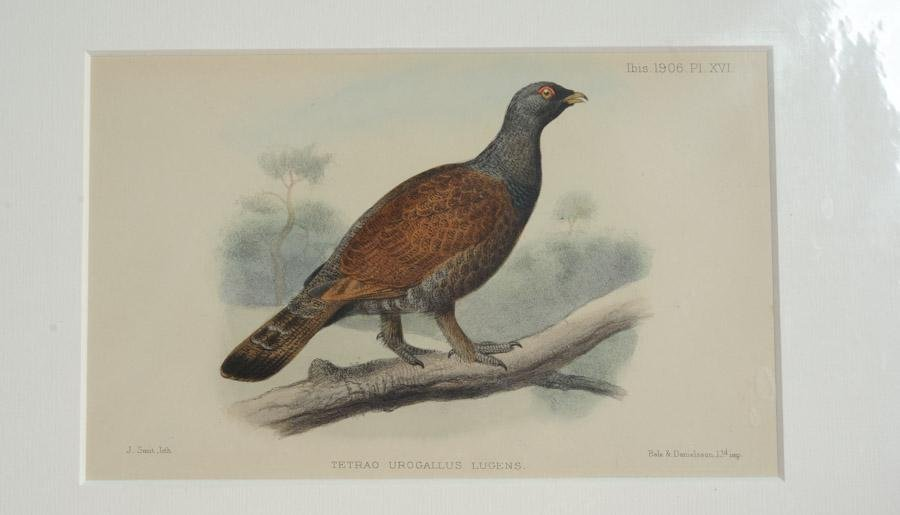 4 Antique Ornithological Hand-Colored Lithographs