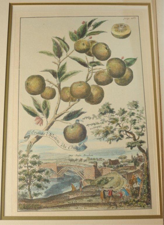 Pair of Early Botanical Engravings - 2