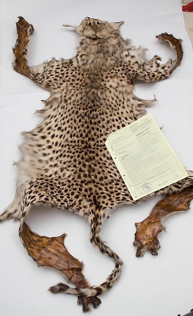 Gepardenfell (Acinonyx jubatus) / A cheetah skin Maße: