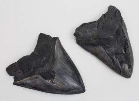 2 Fossile Urhai-zähne Megalodon / 2 Fossil Teeth