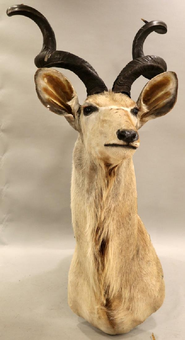 """GREATER AFRICAN KUDU TAXIDERMY, H 42"""", L 17"""""""