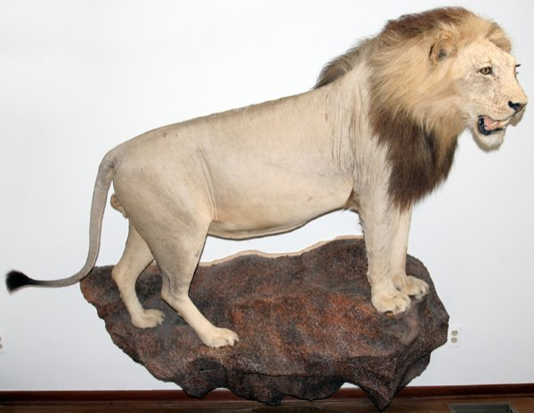 "020058: AFRICAN MALE LION TROPHY MOUNT, H 70"", W 84"","