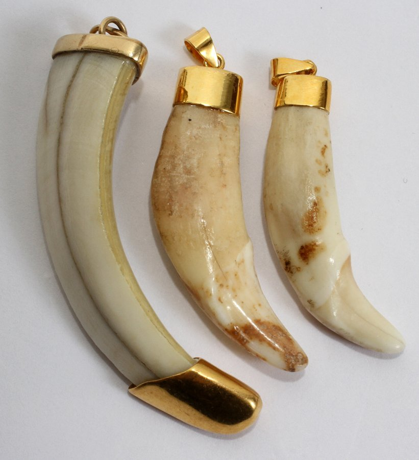 050154: ANIMAL TEETH WITH 22KT GOLD CLAD MOUNTS, 3 PCS.