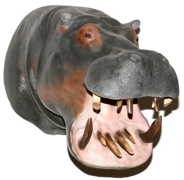 NO EXPORT ALLOWED AFRICAN HIPPO SHOULDER MOUNT