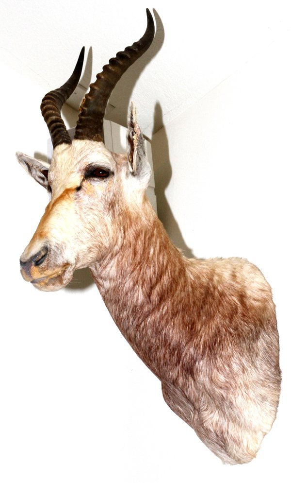 AFRICAN WHITE BLESBOK SHOULDER TROPHY MOUNT