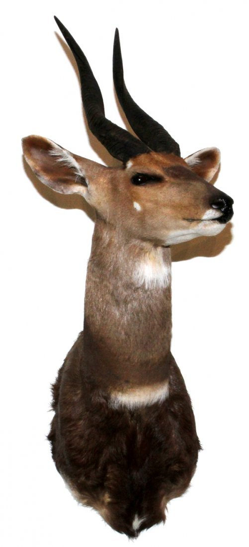AFRICAN CAPE BUSHBUCK SHOULDER TROPHY MOUNT