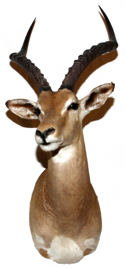 AFRICAN SOUTHERN IMPALA SHOULDER TROPHY MOUNT