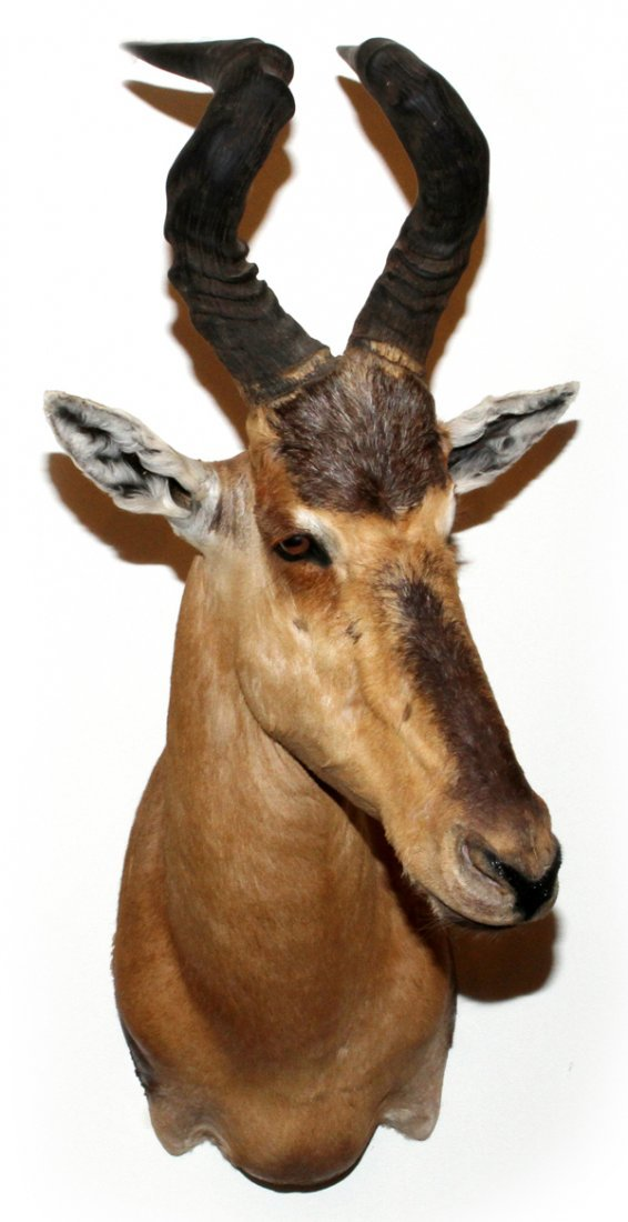 AFRICAN RED HARTEBEEST TROPHY MOUNT