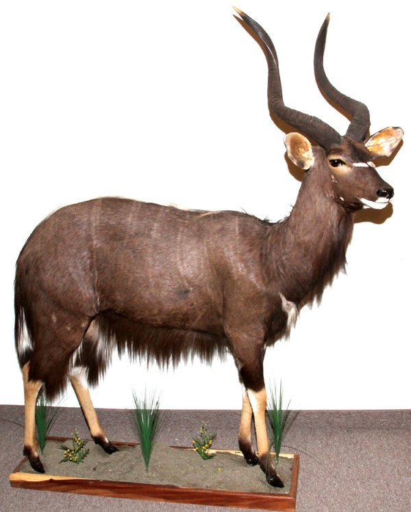 AFRICAN SOUTHERN NYALA FULL BODY MOUNT