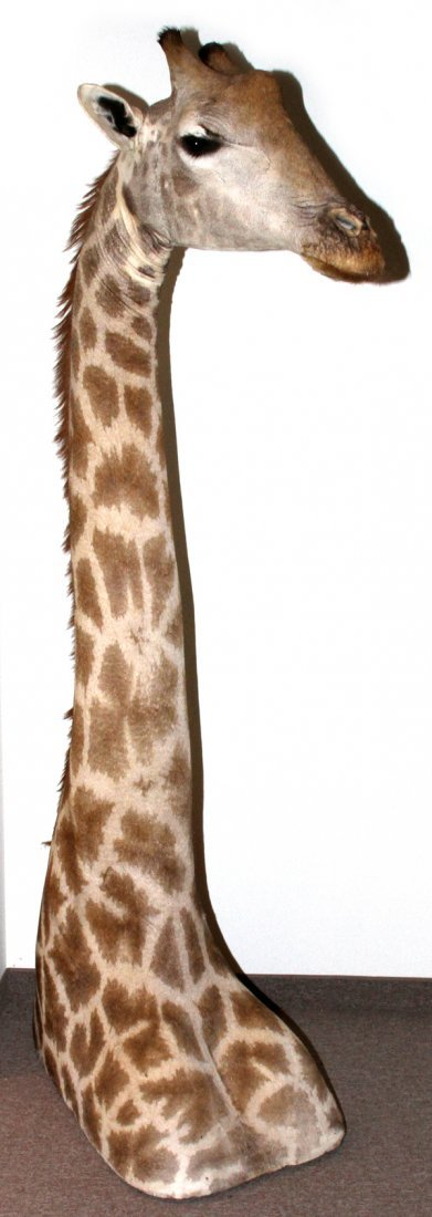 AFRICAN GIRAFFE SHOULDER MOUNT