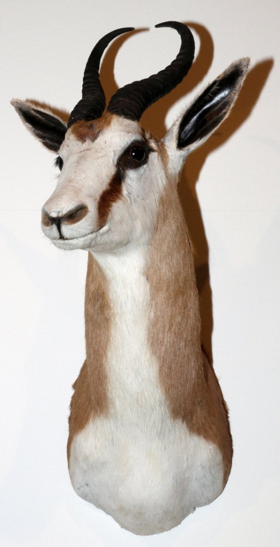 AFRICAN COMMON SPRINGBOK SHOULDER MOUNT