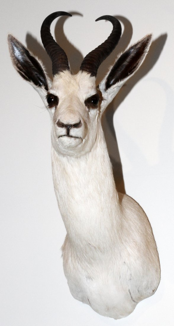 WHITE AFRICAN SPRINGBOK SHOULDER TROPHY MOUNT