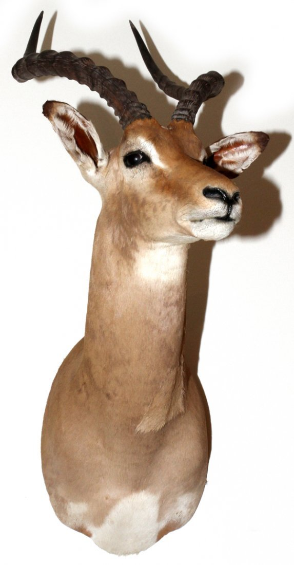 SOUTHERN AFRICAN IMPALA TROPHY SHOULDER MOUNT