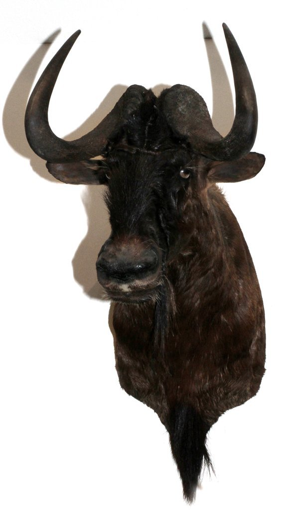 AFRICAN BLACK WILDEBEEST SHOULDER MOUNT
