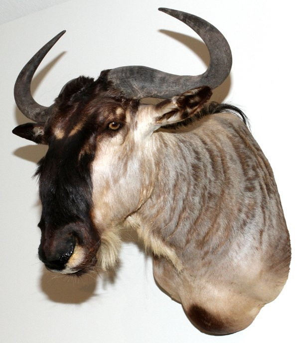 AFRICAN WHITE BEARDED WILDEBEEST SHOULDER MOUNT
