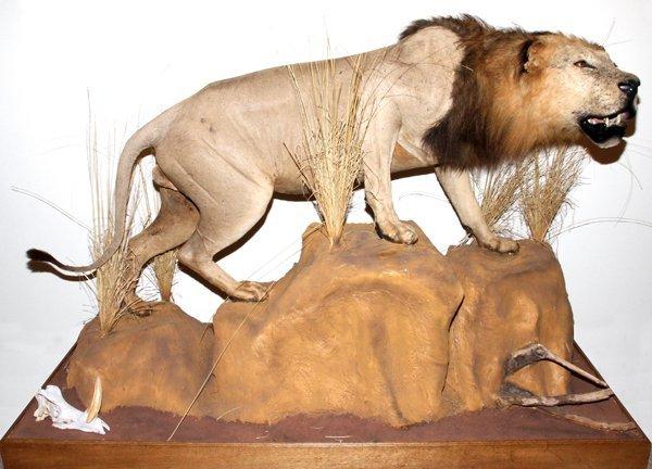 AFRICAN MALE LION FULL BODY TROPHY MOUNT