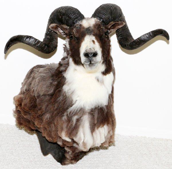 EUROPEAN MOUFLON SHEEP SHOULDER TROPHY MOUNT