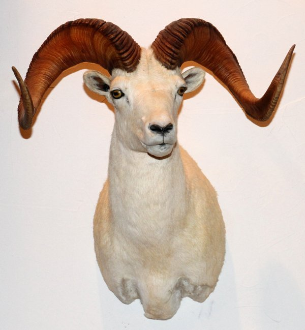 DALL OR WHITE SHEEP TROPHY MOUNT