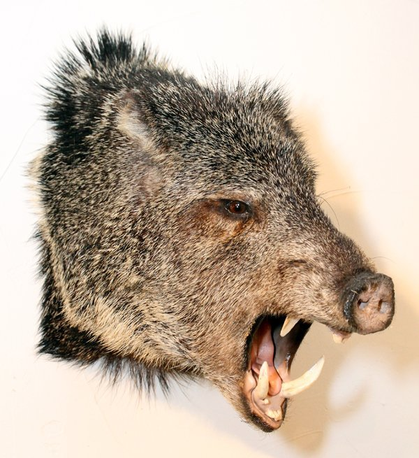 JAVALINA-COLLARED PECCARY TROPHY MOUNT