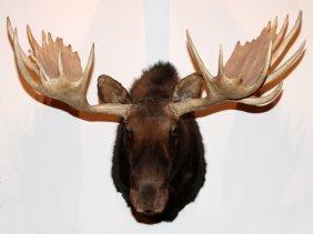 Alaska Yukon Moose Trophy Mount