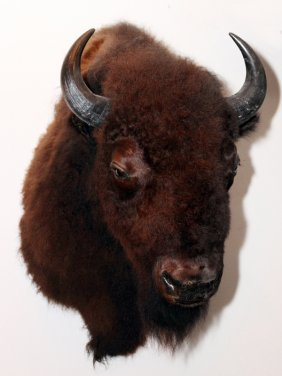 American Bison Trophy Mount