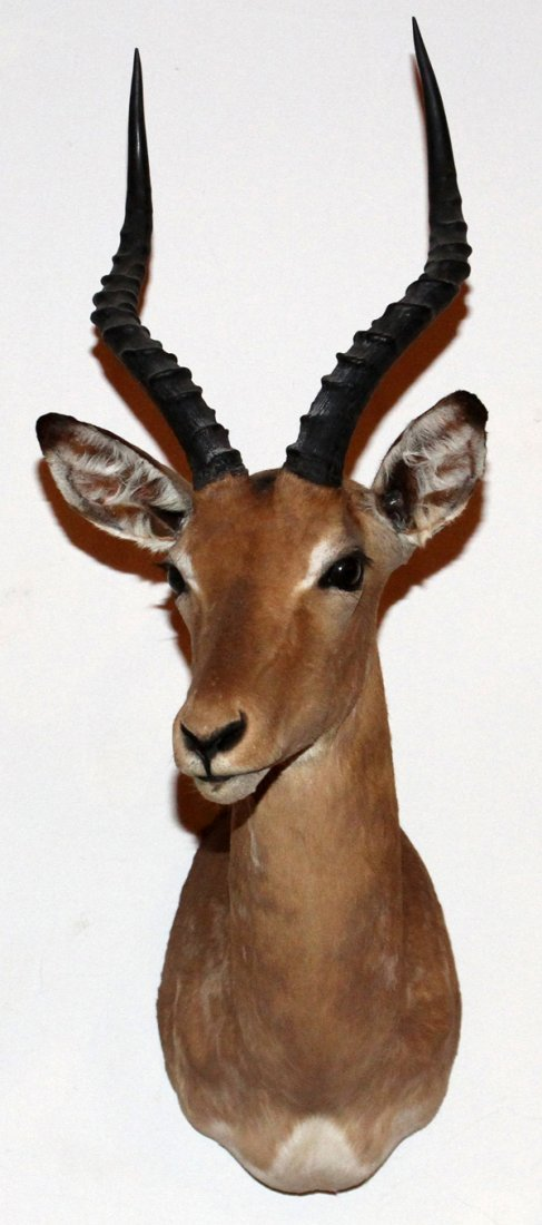 AFRICAN SOUTHERN IMPALA TROPHY MOUNT