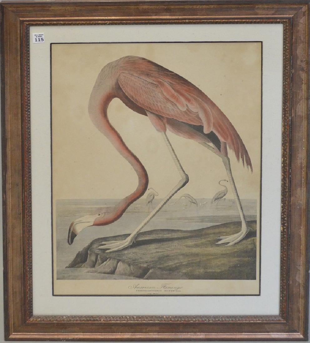 American Flamingo, Phoenicopterus Ruben, Old Male,