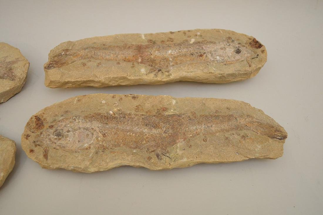 FOUR ANCIENT FISH FOSSILS - preserved in stone.