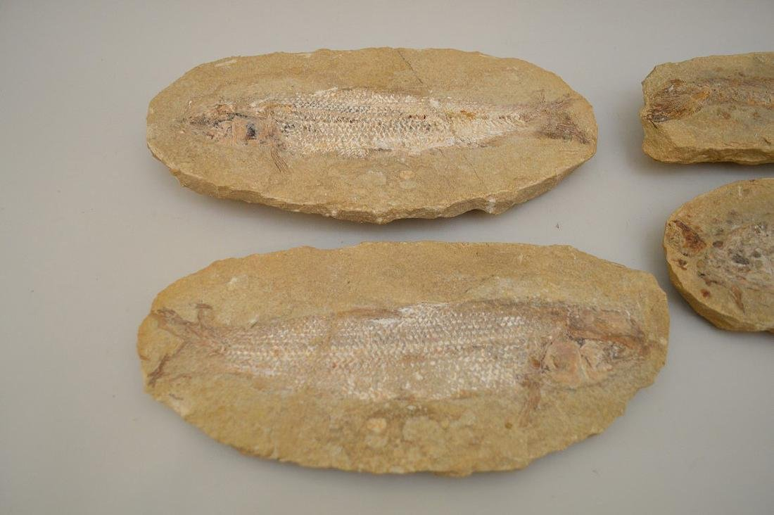 FOUR ANCIENT FISH FOSSILS - preserved in stone. - 2