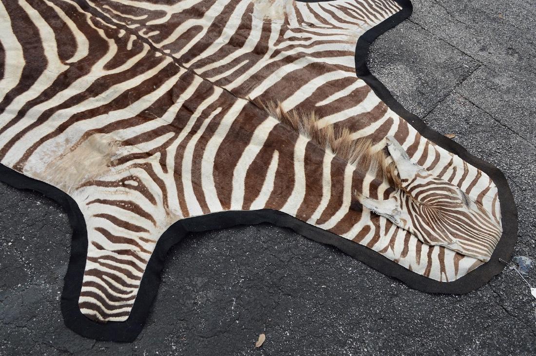 Zebra Skin Rug 9' x 5'.  Condition: good with minor - 2