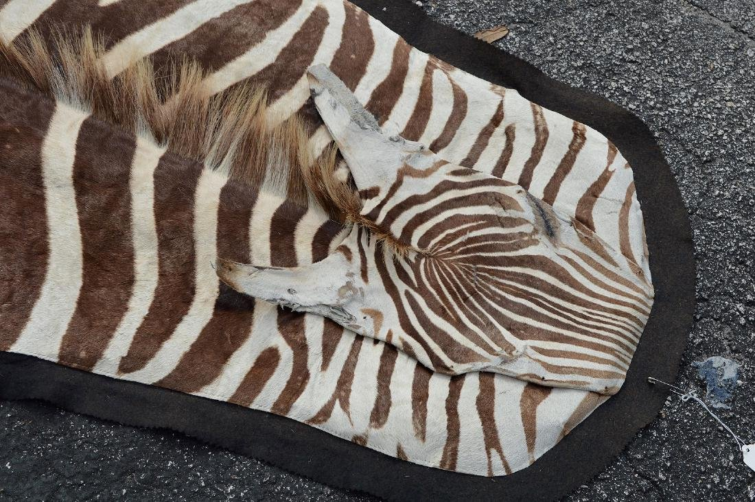 Zebra Skin Rug 9' x 5'.  Condition: good with minor - 3