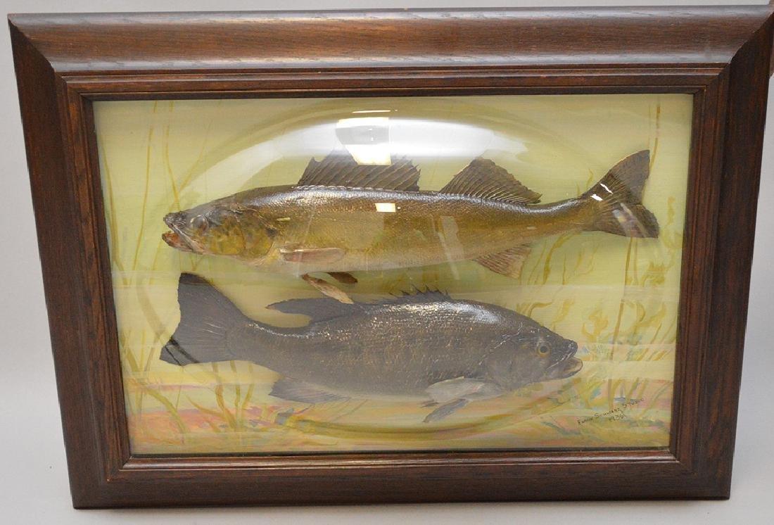 "Framed Fish Taxidermy ""Franck Schwartz Studio,1936,"